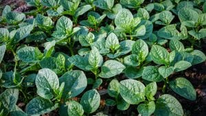 Generic Vegetable field of spinach, included in tours offered by Asia Vacation Group
