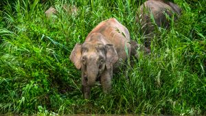 Borneo Pygmy smallest elephants world, included in tours offered by Asia Vacation Group