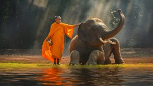 Elephant And Monk in Surin, Thailand