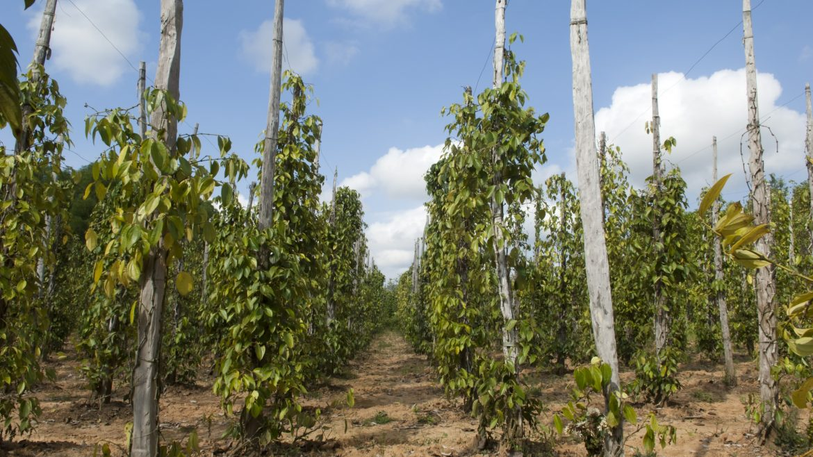 Phu Quoc Peppers field, included in tours offered by Asia Vacation Group